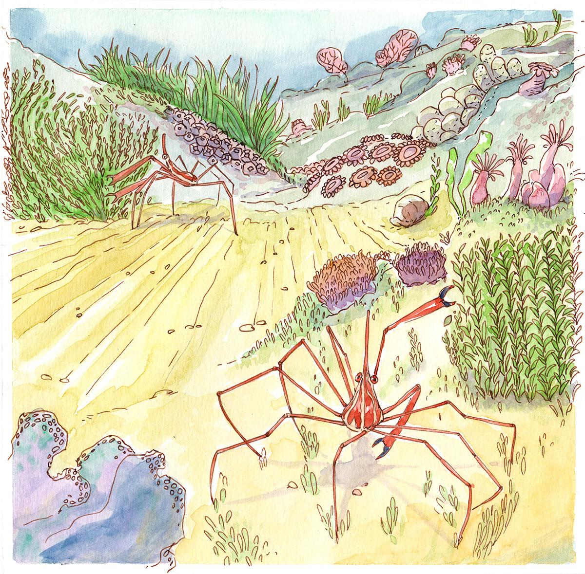 illustration crabe araignée étapes aquarelle