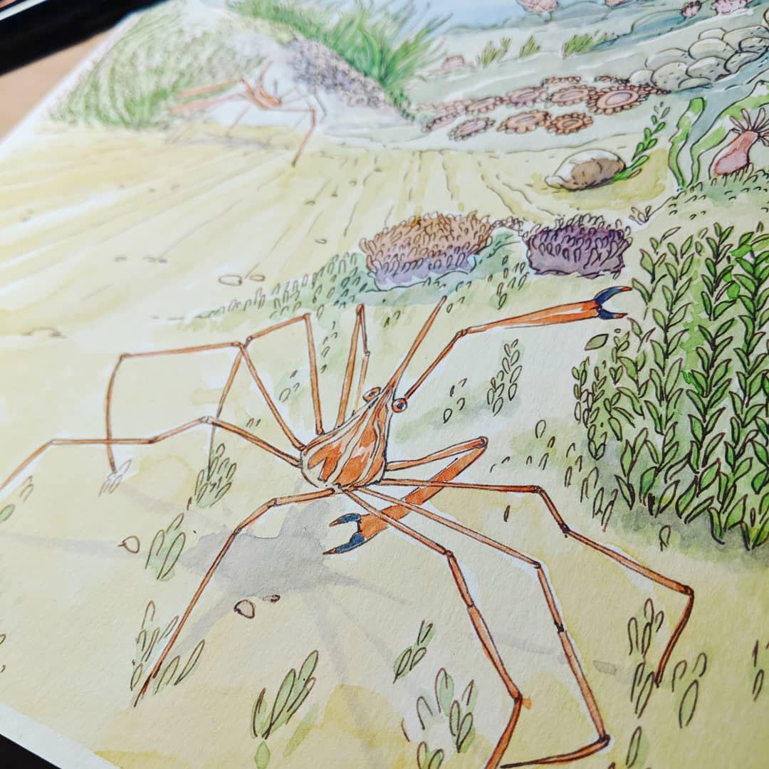 détails aquarelle crabes jardiniers
