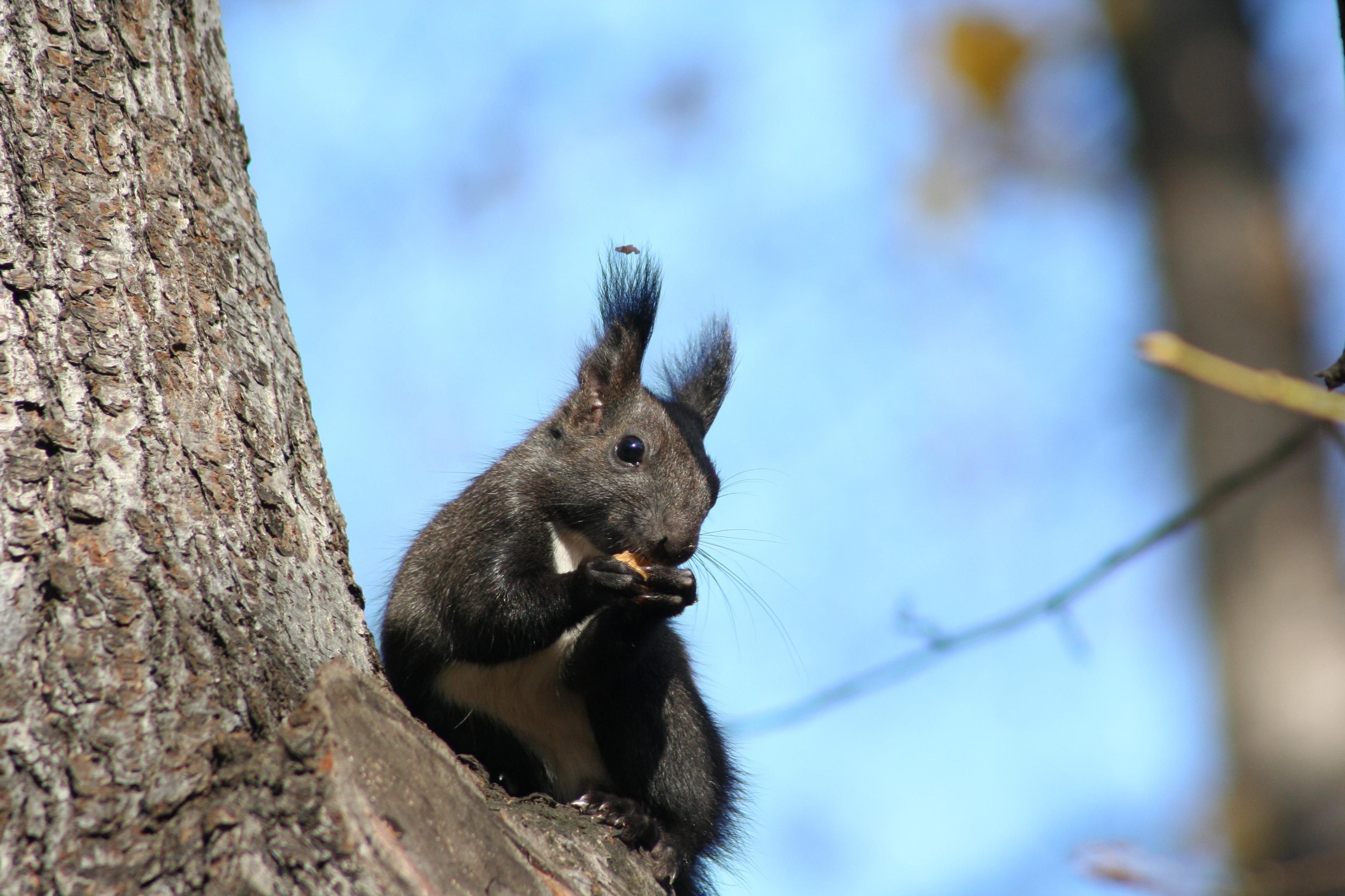 Écureuil Petit Gris tué pour faire les pinceaux