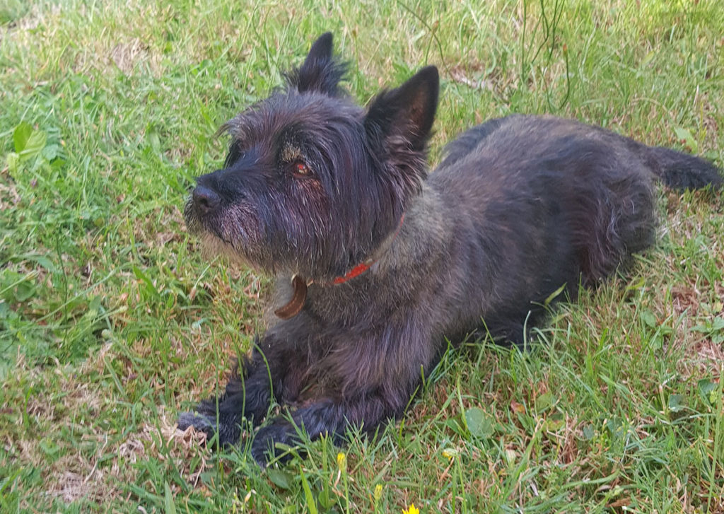 Cairn terrier allongé