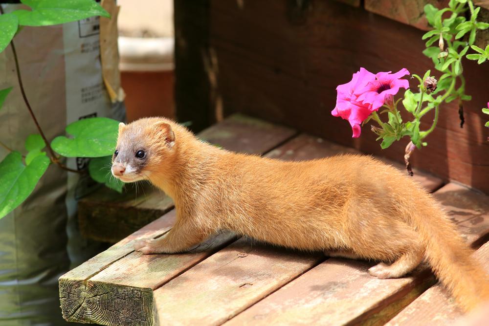 Kolinsky mink, killed for their fur and brushes